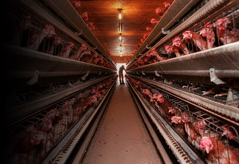 A worker at DeCoster Egg Farms in Turner, Maine tends one of the rows of egg-producing hens in a barn that holds over 70,000 of the birds.
