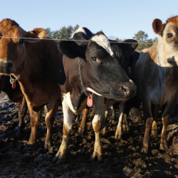Raw milk production in Maine is soaring to meet increasing demand. The state licenses about 100 small producers of raw milk – up from about 15 seven years ago.