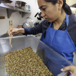 Monica Martinez sorts live mealworms before baking them in San Francisco.