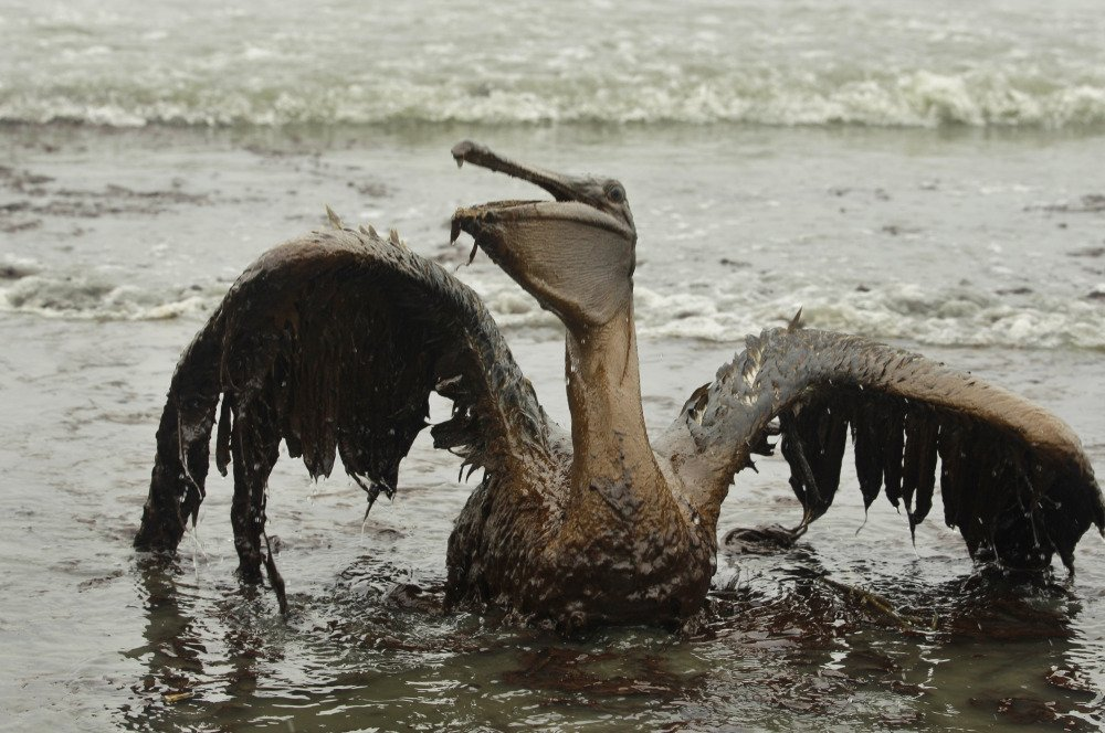 A brown pelican struggles to raise its oil-covered wings after the Deepwater Horizon oil spill of April 2010.