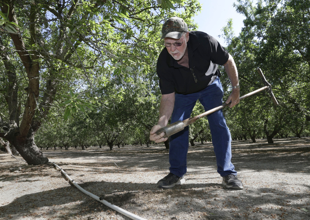 Almond grower Bob Weimer works in his almond orchard near Atwater, Calif. At 1 gallon per almond, California's almond crop is now consuming about 10 percent of all the water that Californians are using during in the drought.