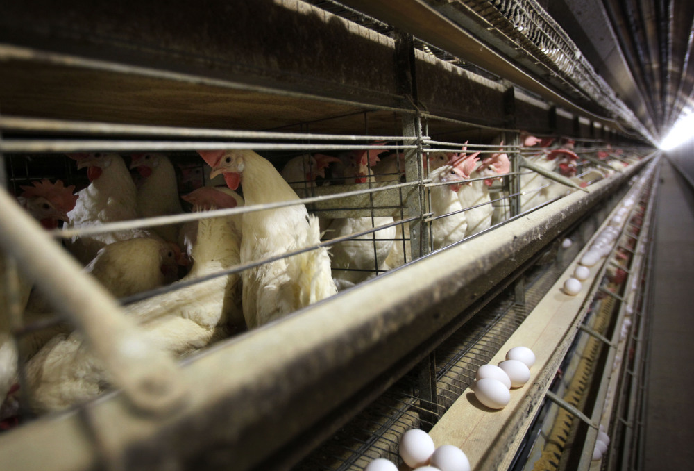 In this Nov. 16, 2009 file photo, chickens stand in their cages at a farm near Stuart, Iowa.