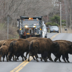 A herd of buffalo crosses a road Friday in Bethlehem, N.Y. The animals also crossed over Interstate 87 as they made their escape from GEM Farms.