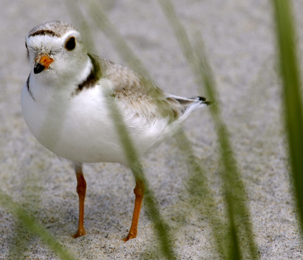 An adult piping plover stands on Higgins Beach in Scarborough. The first two nests of the season were spotted in Kennebunk and Biddeford.