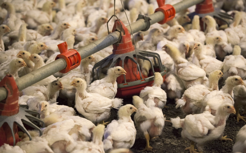 Tyson Foods says it plans to stop using human antibiotics on birds like these as restaurants like McDonald's, Panera and Chipotle move to antibiotic-free poultry.