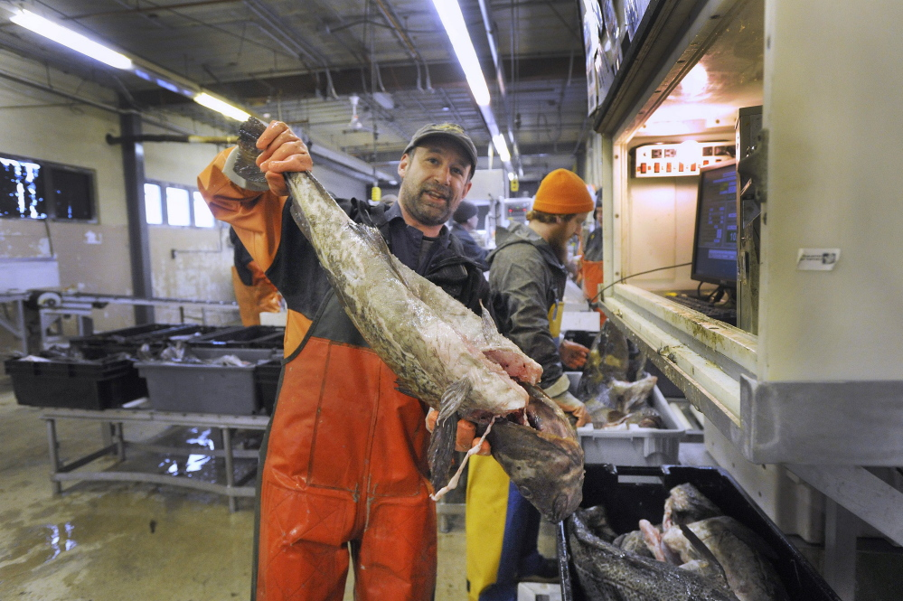 Nate Dunford holds a large cod fish at the Portland Fish Exchange on Commercial Street. Deep quota cuts in the cod catch go into effect Friday.
