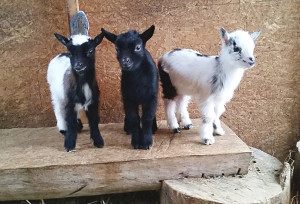 Two week old Nigerian Dwarf goats Fae, Black Jack and Krovoa.