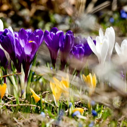 A mixed bouquet of crocuses blooms along Portland's Munjoy Hill on Thursday. As the temperature rises, spring bulbs are popping in the southern part of the state.