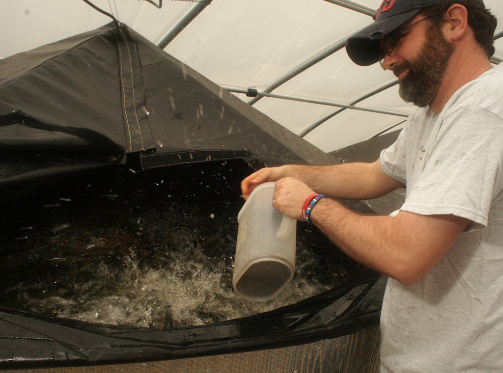 Kevin Neves, production manager for Acadia Harvest, tosses food pellets into a tank filled with California yellowtail. The fish have voracious appetites and splash around in a frenzy during feedings. Neves usually gets soaked.
