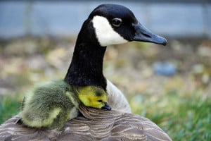 APRIL 15: A gosling rests on its mother's back  in Santa Clara, Calif. The Associated Press