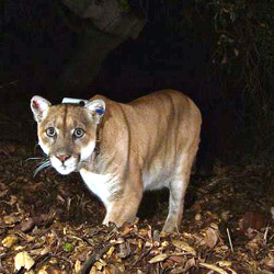 The mountain lion known as P-22 in a November 2014 photo provided by the National Park Service. The animal arrived in the Griffith Park area several years ago from the Santa Monica Mountains and crossed two freeways to get there. The Associated Press