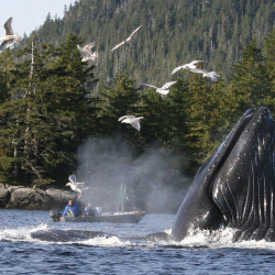 Boaters and fishermen watch as a group of humpback whales feeding on herring near Ketchikan, Alaska.