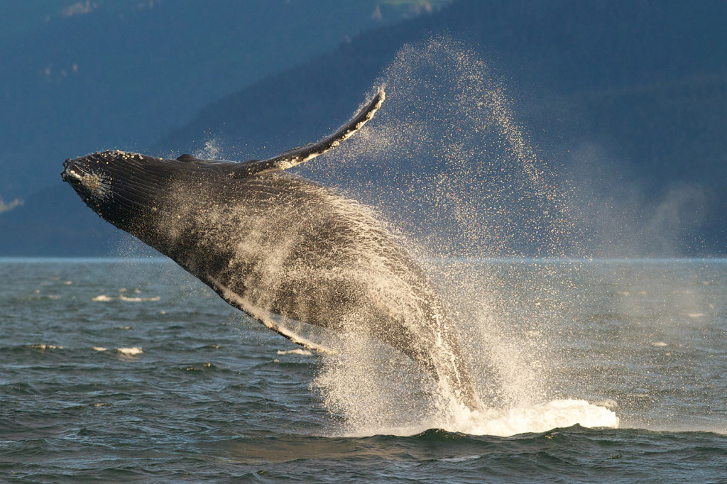 An adult humpback whale breaches in Lynn Canal near Juneau, Alaska. Protection and restoration efforts have led to an increase in humpbacks in many areas.
