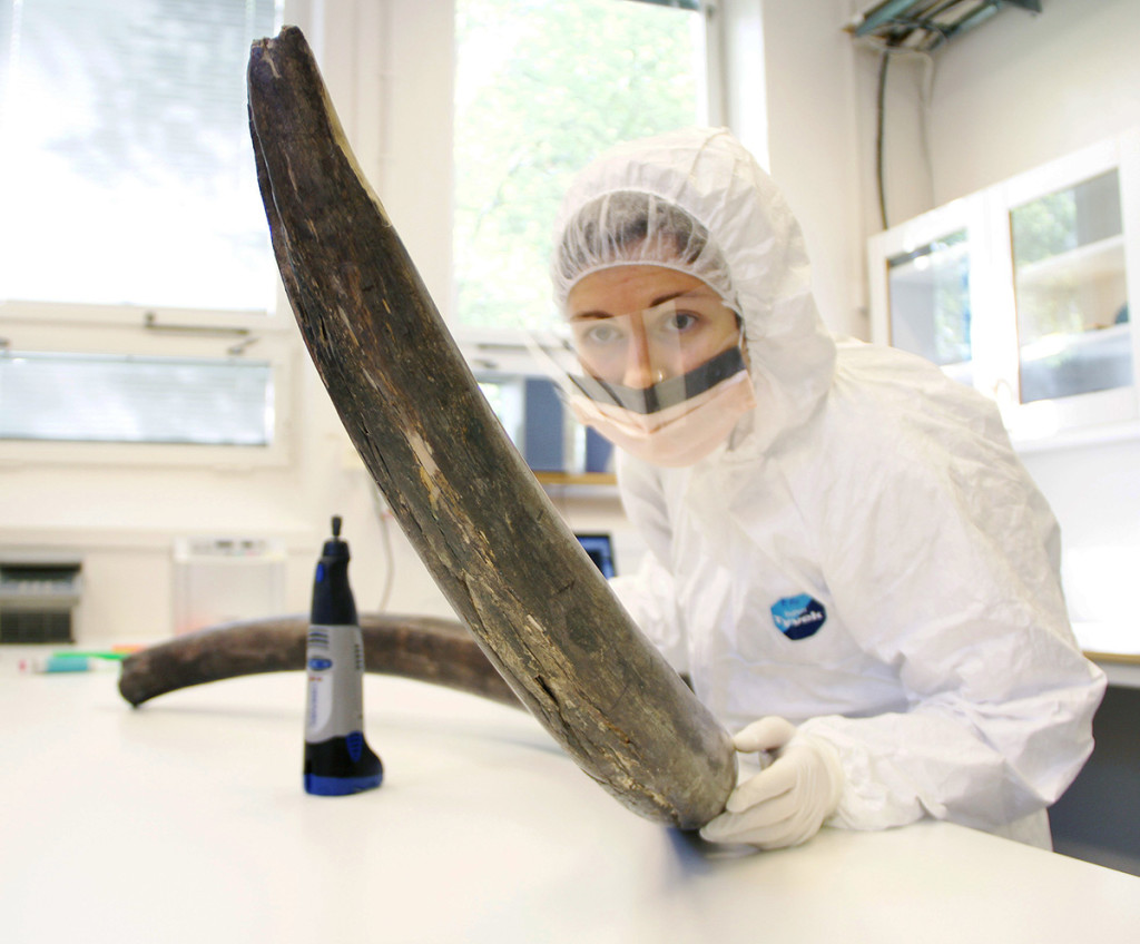 Eleftheria Palkopoulou inspects a woolly mammoth tusk to identify potential sites for DNA sampling, in the ancient DNA lab at the Swedish Museum of Natural History, in Stockholm. Love Dalen via AP