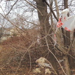 A plastic bag is snagged in a tree in the midcoast. Multiple communities are coming together to curb their use.