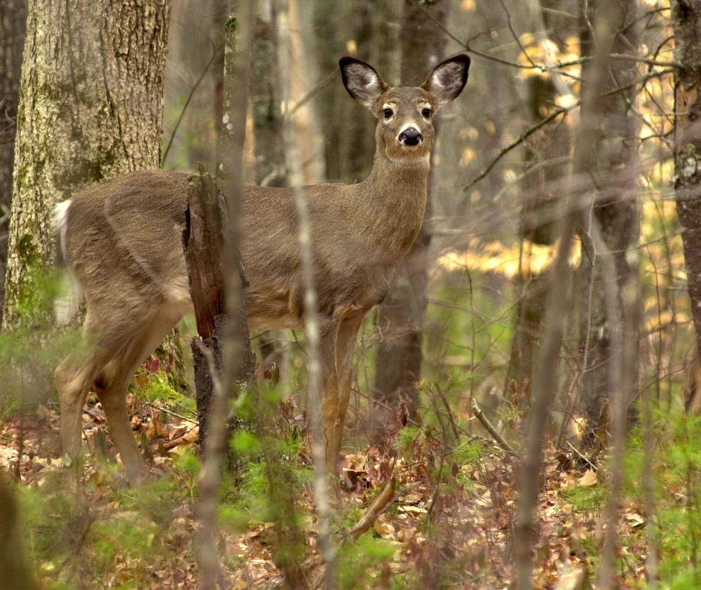 A white tail deer looks up while feeding on new spring growth on the forest floor at Sebago Lake State Park in this file photo. Four pregnant deer in the Livermore-Chesterville area have been shot and killed over the past two weeks.