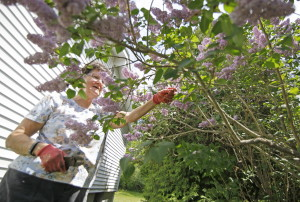 Jan Bickel trims and prunes lilac bushes on a hot afternoon at her home in Kittery. Bickel, who is a relatively new home owner on Hadley Road, says she plans to plant a row of lilac bushes in addition to her current ones, and is also planting raspberry bushes.