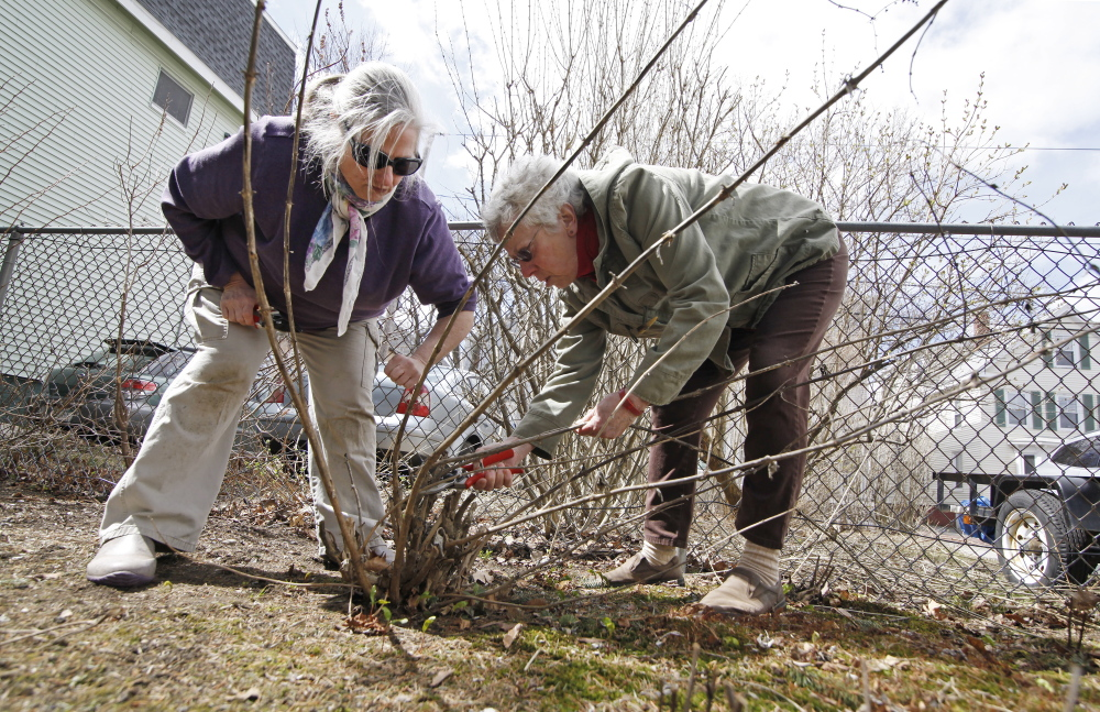 PORTLAND, ME - APRIL 28: Kathleen Carr Bailey, left, a gardening coach, helps Ann Deutsch prune a Butterfly Bush in her garden in Portland Tuesday, April 28, 2015. (Photo by Jill Brady/Staff Photographer)