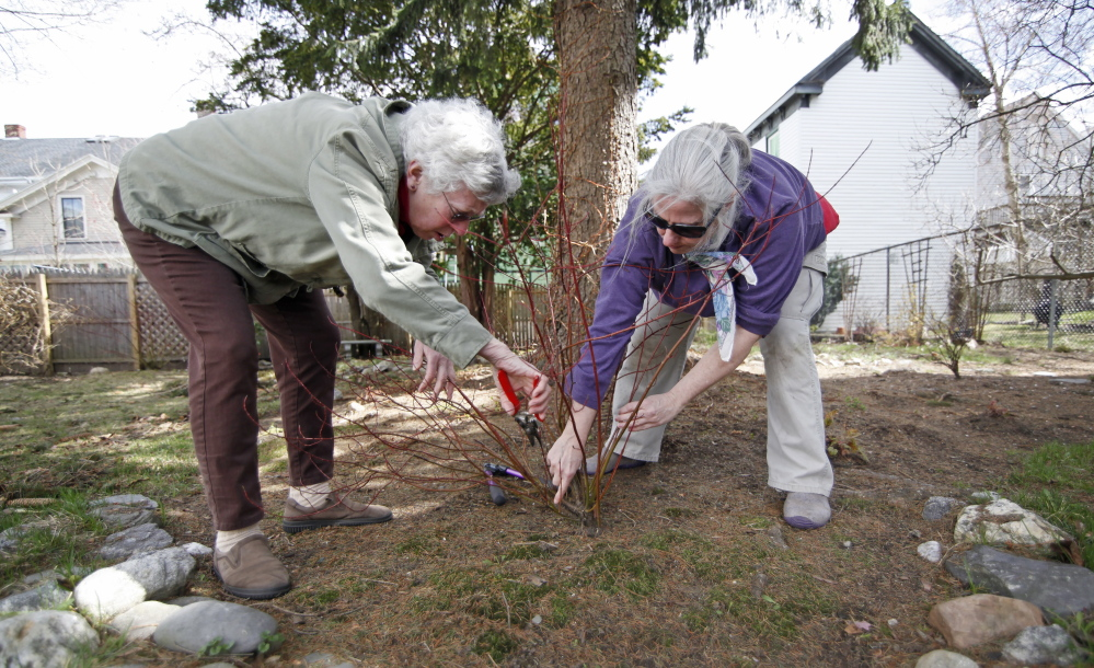 "PORTLAND, ME - APRIL 28: Kathleen Carr Bailey, a gardening coach, helps Ann Deutsch prune an ""Ivory Halo"" dogwood in her garden in Portland Tuesday, April 28, 2015. (Photo by Jill Brady/Staff Photographer)"