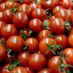 PORTLAND, ME - APRIL 24: Freshly picked cherry tomatoes at Olivia's Garden's in New Gloucester Friday, April 24, 2015. (Photo by Shawn Patrick Ouellette/Staff Photographer)