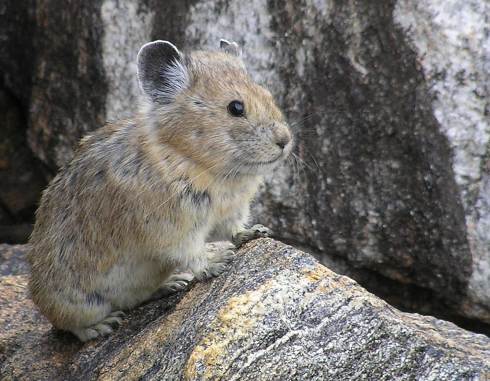 A study projects that one in 13 species such as the American pika will go extinct because of global warming.