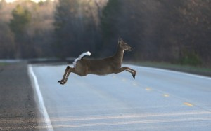 A deer runs across the road in Kinross Charter Township, Mich. Harsh winters the past few years have decimated deer herds across the Upper Midwest, among other places, including Maine.