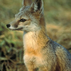 The San Joaquin kit fox depends on the kangaroo rat to survive, but with the rodents dying off, the fox too is threatened.