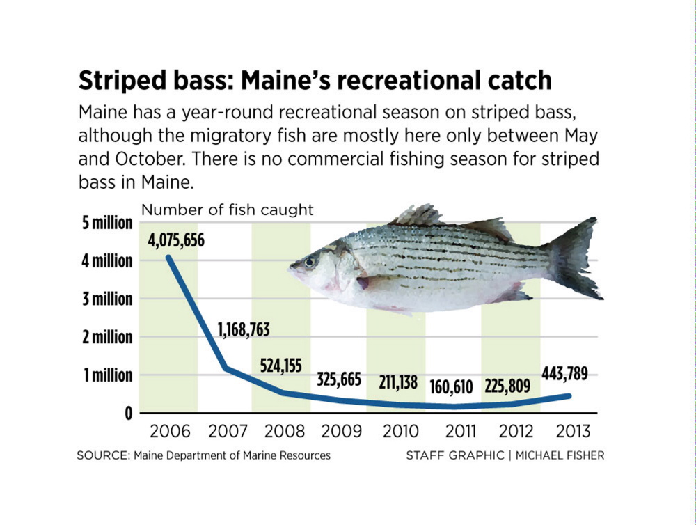 striped bass maine vorschriften
