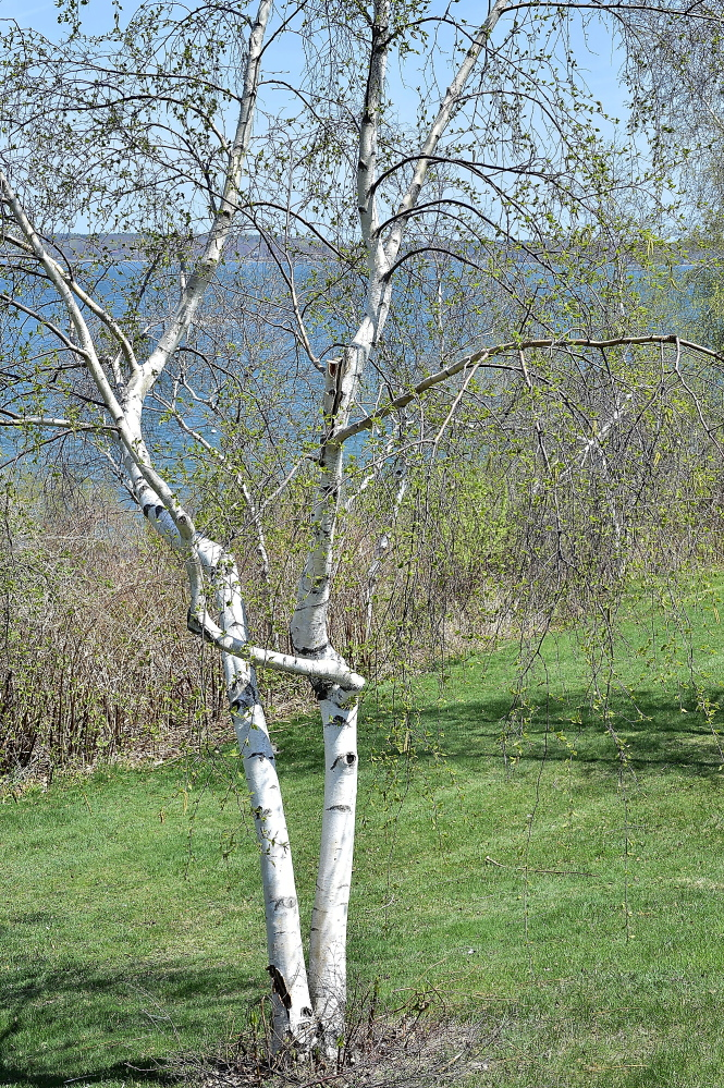This pollen-emitting tree is a white birch on the Eastern Prom in Portland.