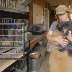 Megan Anderson, farm manager at Unity College, puts Josi, a silver fox rabbit back into a cage in the livestock barn at the college.