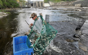 Tommy Keister hauls alewives from the waters of the Sebasticook River in Benton. Keister's crew expects to bring in less than a third of its normal catch this year.