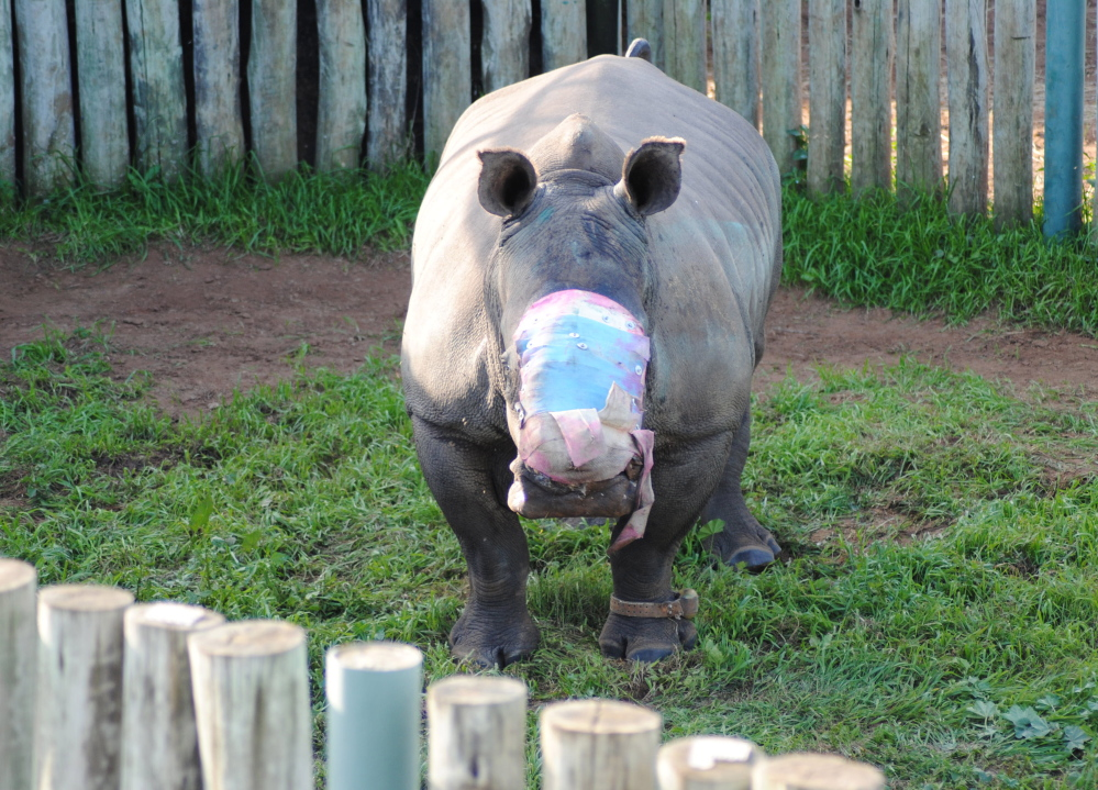 A rhino wears a dressing where her horns used to be. She will need many treatments to recover.