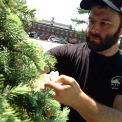 Ian McConnell collecting spruce tips.