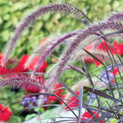 Grasses, like purple fountain grass, make great thrillers.