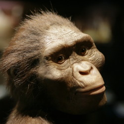 "An artist's life-sized model of ""Lucy,"" based on the 3.2 million-year-old Australopithecus afarensis skeleton, is at the Houston Museum of Natural Science in Houston."