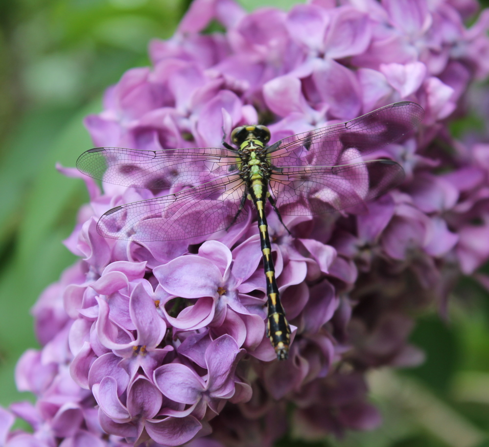 The dragonfly is a predator, so maybe the lilac bush in Diantha Grant's New Gloucester yard serves as its own launching pad.