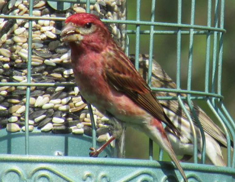 As long as the feeder is up at Bob Keithley's Saco yard, the purple finch has no reason to forage for seeds in trees and bushes.