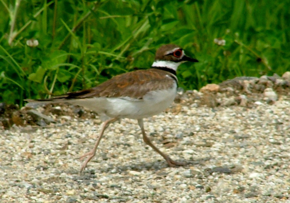 The killdeer didn't really have to divert Raymond's Bruce Small from its Yarmouth nesting area. Bruce meant no harm, but birds can't be too careful.
