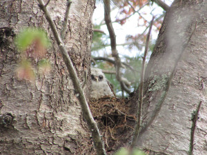 Inconspicuous to its prospective prey but not to eagle-eyed 12-year-old Bryn Pecora, a barred owl nests near the Pecora family's Saco home near the Rachel Carson Wildlife Preserve.