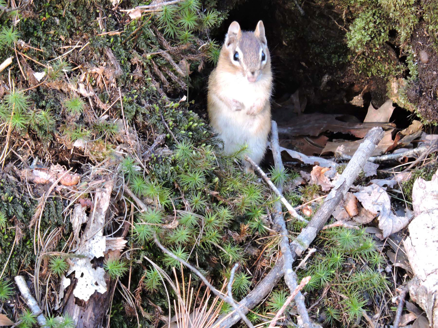 As long as that eagle stays in Clinton, this chipmunk should be safe on Kennebunk's Bridal Path. By resident Kristen Holmberg, a frequent contributor to Your Turn.