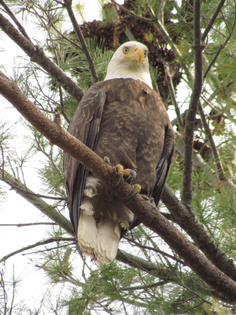 This bald eagle seems every inch the national symbol as it perches in a tree in Clinton while Tina Richard gets a close-up.