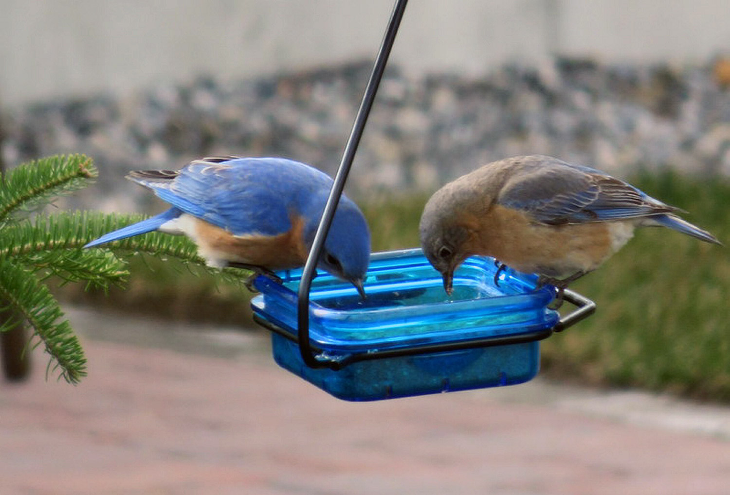 A pair of bluebirds visit the feeder at the home of Jo Anne and John Gouveia in Wells.