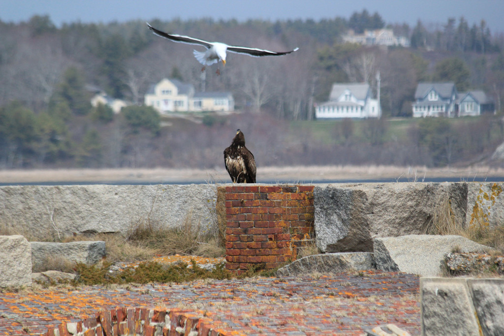A gull at Fort Popham in Phippsburg seems perturbed by the presence of a golden eagle, and Christopher B. Eich caught the encounter.