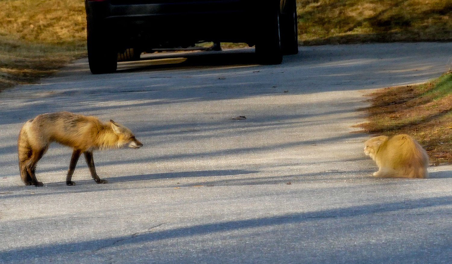 Max Henke of Topsham stumbled upon this staring match between a fox and a neighborhood cat named Buddy. Despite the apparent mismatch, the cat stood its ground, reports Henke, and the fox wandered away.