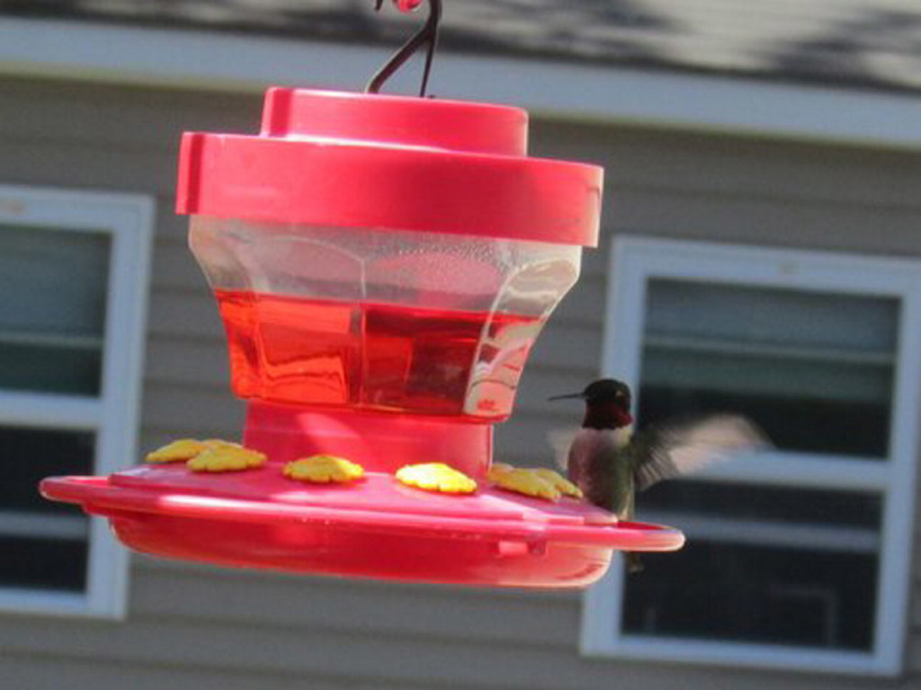 Bob Keithley of Saco says his bird feeder has been quite busy this spring, and among the many visitors was this male hummingbird.