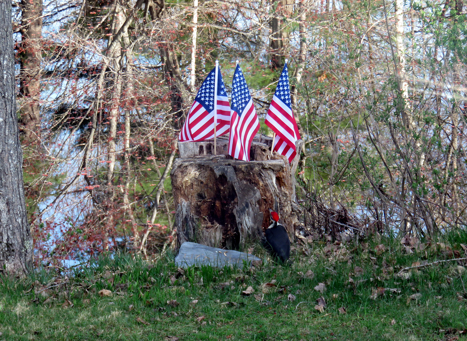 A male pileated woodpecker seems enchanted by the flags displayed in a tree stump by Cathy Wilkie Conley at her home on Estes Lake in Alfred.