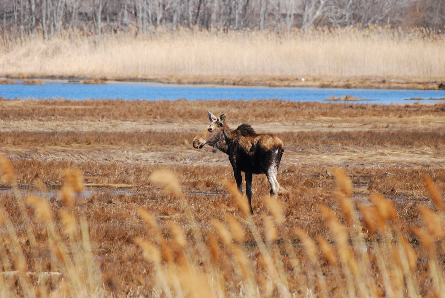 In the salt marsh off Furbish Road in Wells on April 19, Bruce Bjork of Wells watched this moose meander just a few hundred yards from the ocean.