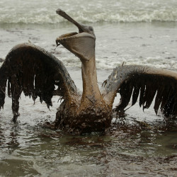 A brown pelican covered in oil tries to raise its wings along the Louisiana coast during the disastrous BP oil spill. Court rulings have put the brunt of responsibility on BP, while Transocean and Halliburton also have been found to have responsibility.
