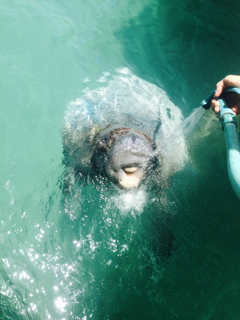 The friendly manatee, named Rita, is a resident of Spanish Wells. Sally Gardiner-Smith photo