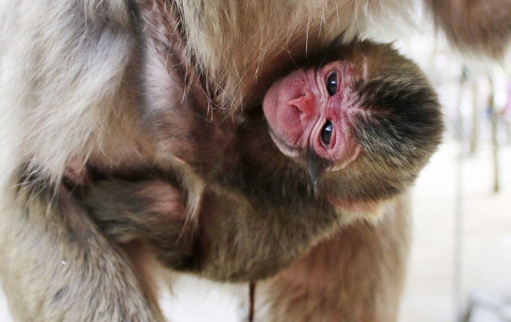 A newborn baby monkey named Charlotte clings to her mother at the Takasakiyama Natural Zoological Garden in Oita, southern Japan. Photo courtesy of  Takasakiyama Natural Zoological Garden via AP
